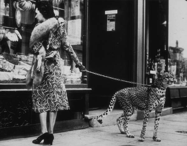 Archival Photograph - Cheetah Who Shops by B. C. Parade