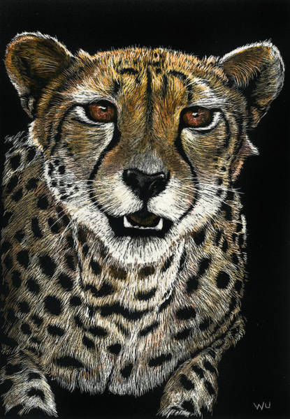 Drawing - Cheetah by William Underwood