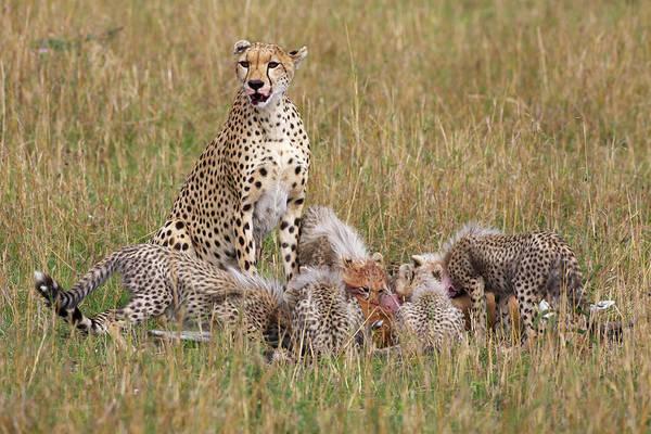 Wall Art - Photograph - Cheetah With Cubs, Eating, Maasai Mara by Piper Mackay