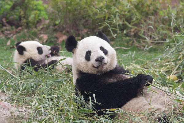 Back In The Day Photograph - Chengdu Research Base Of Giant Panda by Dan Herrick