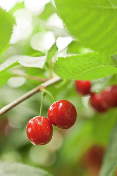 Rosaceae Wall Art - Photograph - Cherries On Tree, Laugaras, South by Atli Mar Hafsteinsson