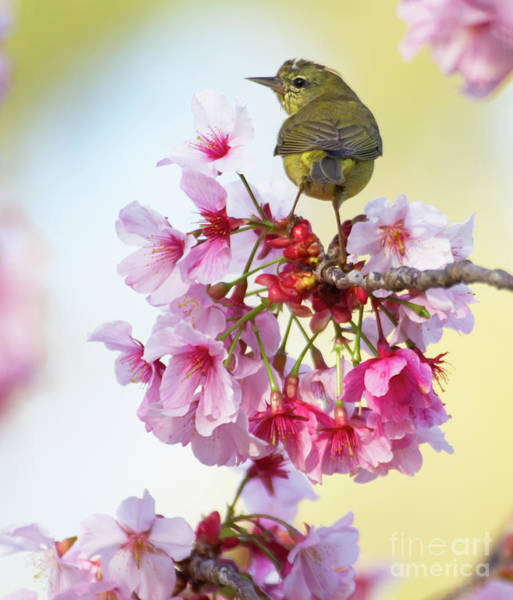 Wall Art - Photograph - Cherry Blooms And Birds by Ruth Jolly