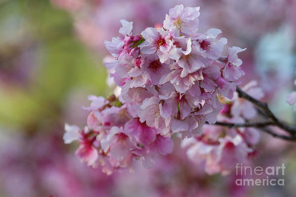 Wall Art - Photograph - Cherry Blooms In March  by Ruth Jolly