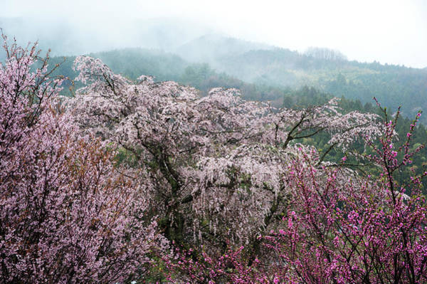 Nara Wall Art - Photograph - Cherry Blossom And Peach Trees by Zhangyuan831231@gmail.com