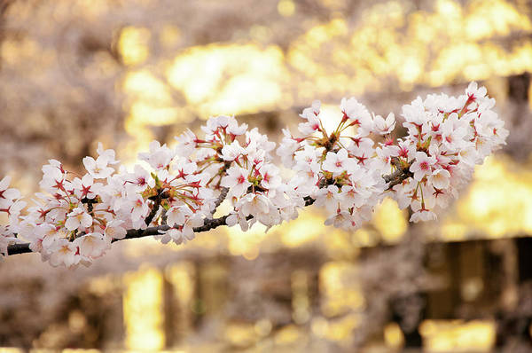 Japan Photograph - Cherry Blossom At Evening by Japan From My Eye
