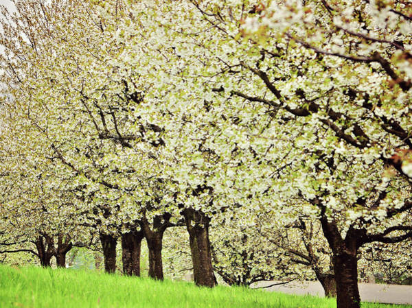 Ceca Wall Art - Photograph - Cherry Blossom by Ceca Photography