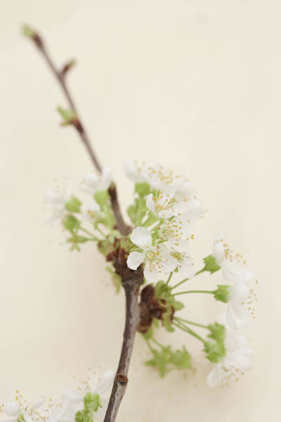 Growth Photograph - Cherry Blossom, Close-up by Siri Stafford