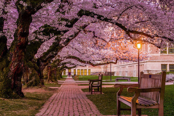 University Of Washington Wall Art - Photograph - Cherry Blossom Elegance by Emerita Wheeling