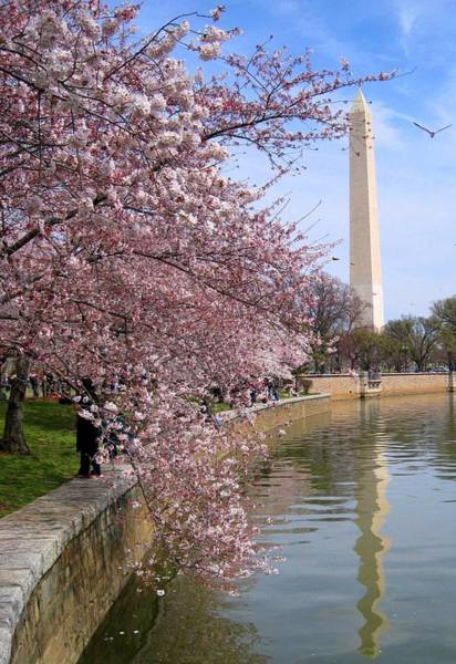 Tidal Basin Photograph - Cherry Blossom Festival In Dc by Patrick Yuen