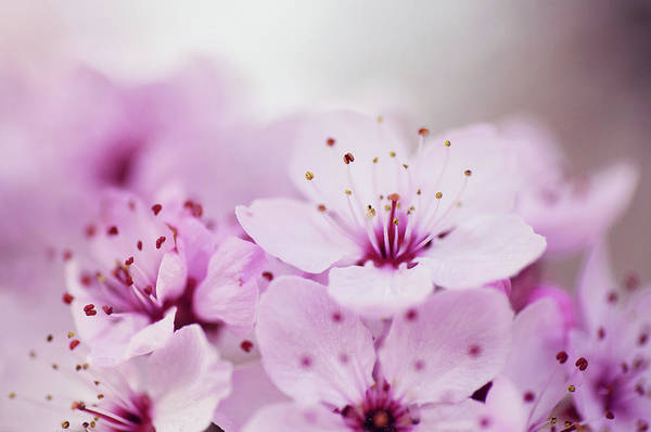 Petal Photograph - Cherry Blossom Glow by Images By Christina Kilgour