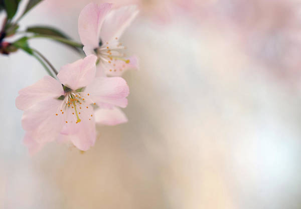 Petal Photograph - Cherry Blossom by Images By Christina Kilgour