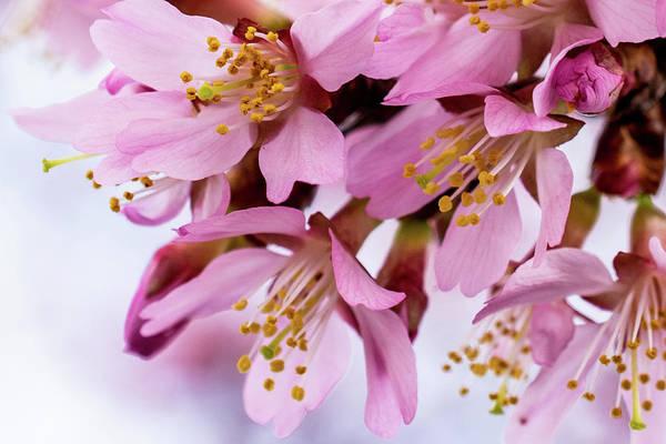 Wall Art - Photograph - Cherry Blossom Macro by Mary Ann Artz