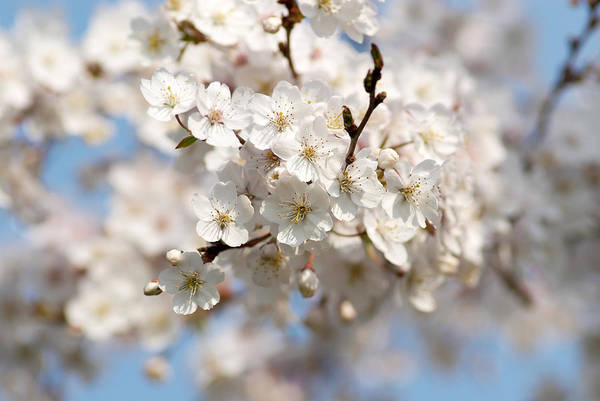 Fruit Trees Wall Art - Photograph - Cherry Blossom by Pixonaut