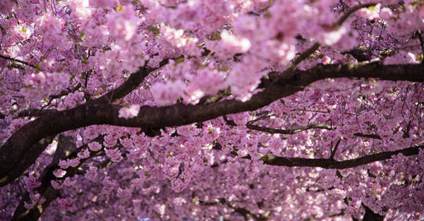Cherry Blossom Tree Panorama Art Print