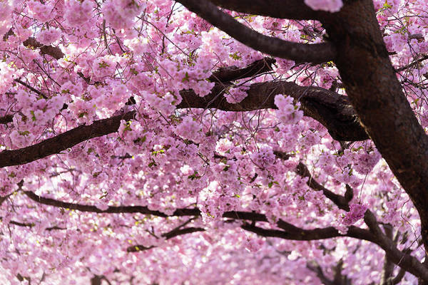 Botanical Gardens Photograph - Cherry Blossom Trees by Nicklas Gustafsson