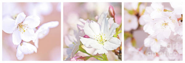 Wall Art - Photograph - Cherry Blossom Triptych by Delphimages Photo Creations