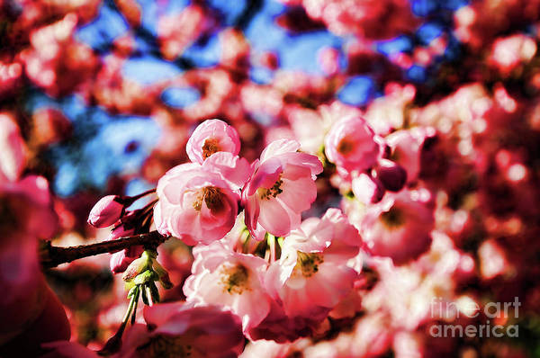 Wall Art - Photograph - Cherry Blossoms 2 by Paul Ward