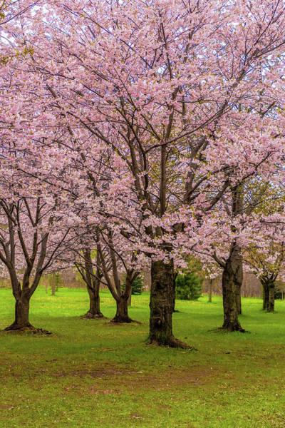 Wall Art - Photograph - Cherry Blossoms 2 by Steve Harrington