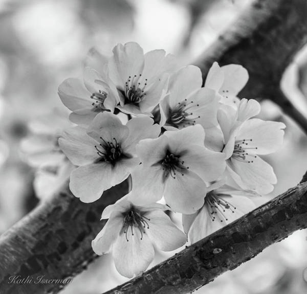 Wall Art - Photograph - Cherry Blossoms 2019 E by Kathi Isserman