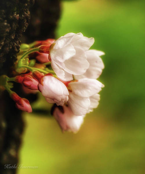 Wall Art - Photograph - Cherry Blossoms 2019c by Kathi Isserman