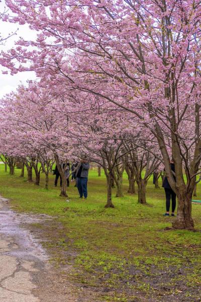 Wall Art - Photograph - Cherry Blossoms 3 by Steve Harrington
