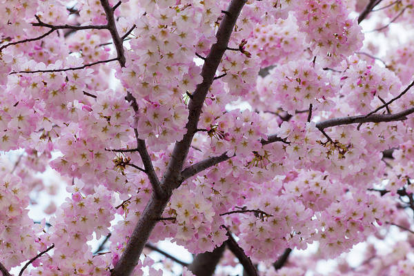 Photograph - Cherry Blossoms 8611 by Mark Shoolery