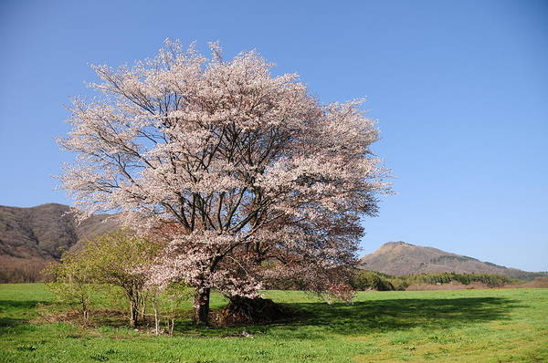 In The Grass Photograph - Cherry Blossoms And Meadow by Please Expand The Possibility.  U3k-y