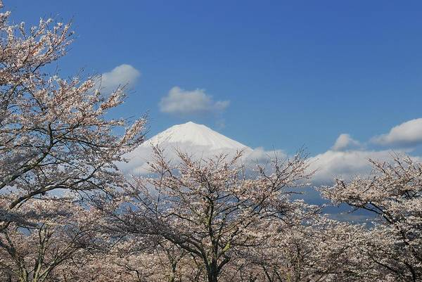 Japanese Culture Photograph - Cherry Blossoms And Mount Fuji by Lucia Terui