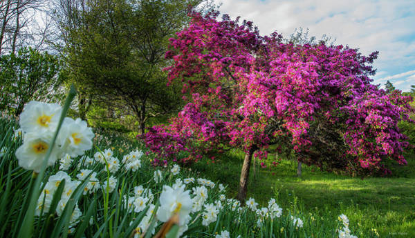 Photograph - Cherry Blossoms And White Daffodils At Highland Park by Mark Papke