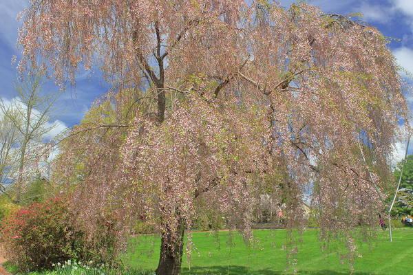 Wall Art - Photograph - Cherry Blossoms At Tower Hill by John Burk