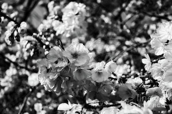 Wall Art - Photograph - Cherry Blossoms Black And White 1 by Paul Ward