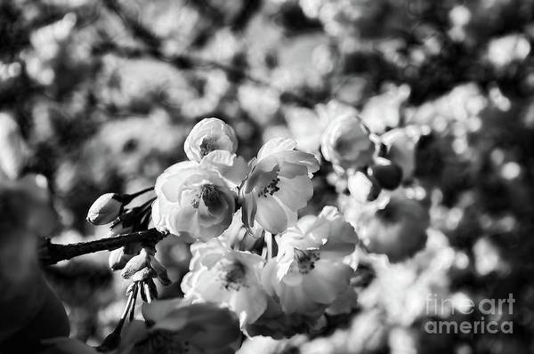 Wall Art - Photograph - Cherry Blossoms Black And White 2 by Paul Ward
