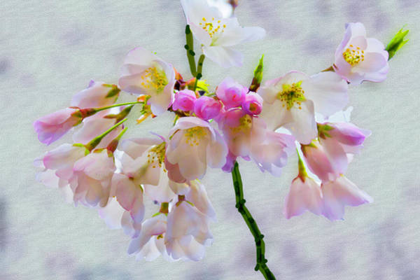Digital Art - Cherry Blossoms Digital Painting by Gene Norris