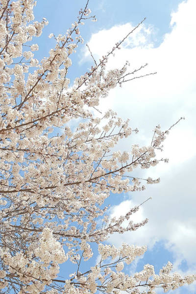Photograph - Cherry Blossoms by Ellie Perla
