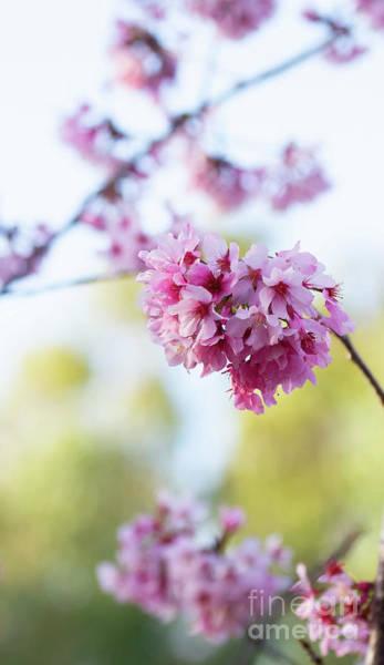 Wall Art - Photograph - Cherry Blossoms In Golden Light by Ruth Jolly