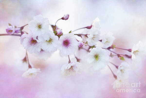 Photograph - Cherry Blossoms In Pastel Pink by Anita Pollak