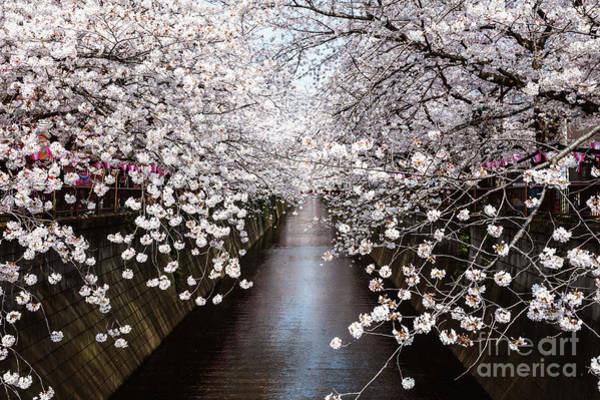 Wall Art - Photograph - Cherry Blossoms On The River, Tokyo by Matteo Colombo