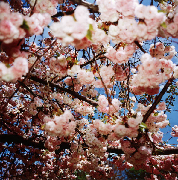 Photograph - Cherry Blossoms by Silvia Otte