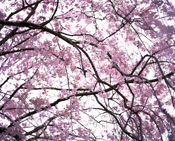 Fruit Trees Wall Art - Photograph - Cherry Blossoms by Taesam Do