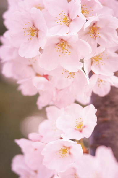 Photograph - Cherry Blossoms by Todd Henson