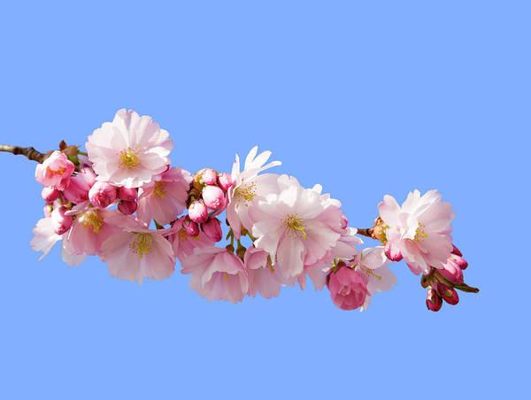 Pistil Wall Art - Photograph - Cherry Blossum by Brittak
