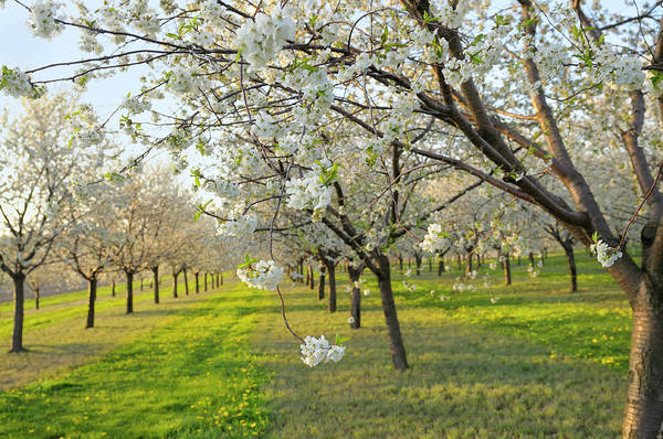 Fruit Trees Wall Art - Photograph - Cherry Orchard by Creativei