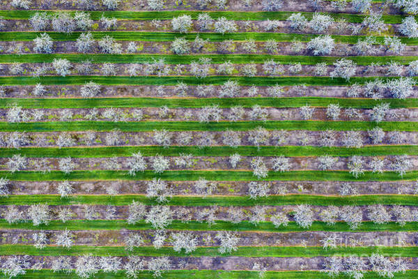 Wall Art - Photograph - Cherry Orchard From Above by Twenty Two North Photography