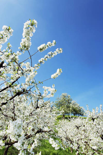 Fruit Trees Wall Art - Photograph - Cherry Orchard In Bloom by Frank Krahmer