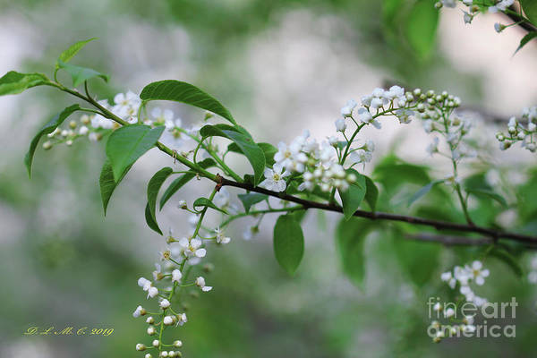 Photograph - Cherry Schubert Branch by Donna L Munro
