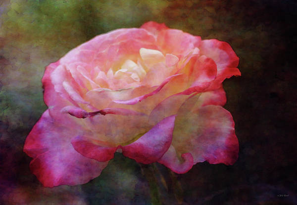 Photograph - Cherry Tipped Rose 5592 Idp_2 by Steven Ward
