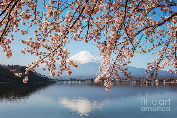 Wall Art - Photograph - Cherry Tree And Mt. Fuji Reflected In Lake, Japan by Matteo Colombo