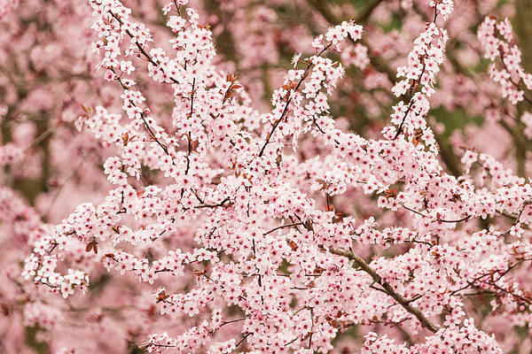 Wall Art - Photograph - Cherry Tree Blooms by William Sutton
