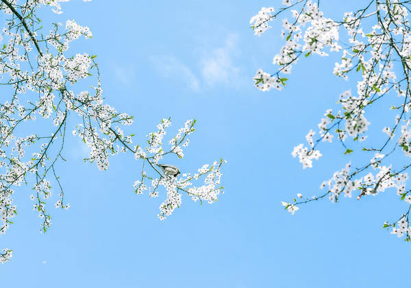 Photograph - Cherry Tree Blossom II by Anne Leven