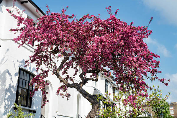 Photograph - Cherry Tree Blossom In Kensington by Tim Gainey